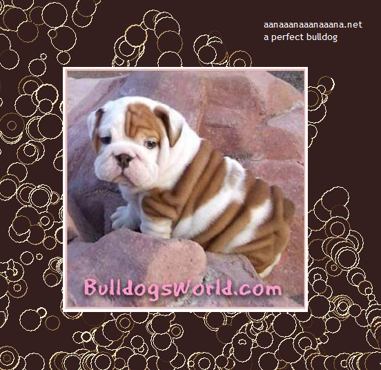 a perfect bulldog